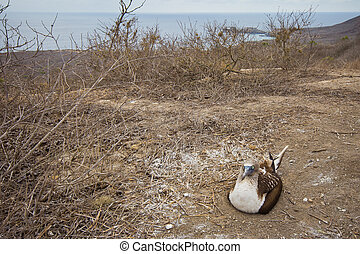Blue-footed booby nesting - Blue-footed booby incubating...