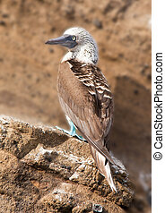 Blue Footed Booby on Ledge