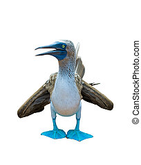 blue-footed booby over white background