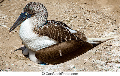 Blue footed booby sitting on babies