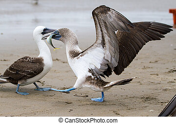Blue footed booby stealing fish