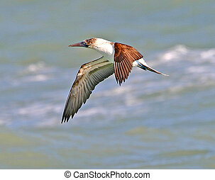 Blue-footed Booby - Sula nebouxii - Sea of Cortez