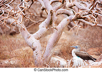 Blue footed booby under the tree