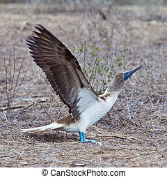 Blue-footed booby with stretched wings about to take flight
