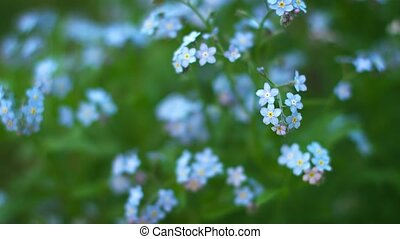 Blue forget-me flowers close up. Shallow depth of field -...