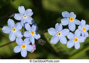 Close up of Forget-me-not flowers (Myosotis).