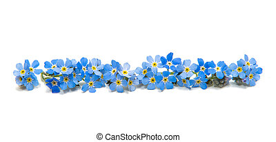 blue forget-me-nots isolated on white background