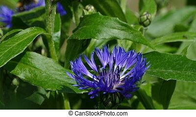 blue garden flower