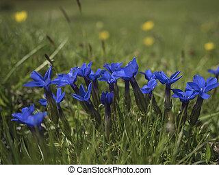 blue gentian flowers