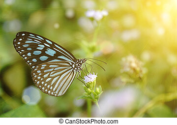 Blue glassy tiger butterfly on flower. (Ideopsis simillis persimillis. Moore)