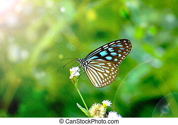 Blue glassy tiger butterfly on flower. (Ideopsis simillis...