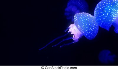 Blue glowing jellyfish moving in the dark blue water.