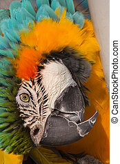 Blue Gold Macaw Curled Up