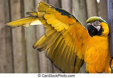 Blue Gold Macaw Wing