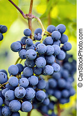 Close up view of blue grapes cluster.