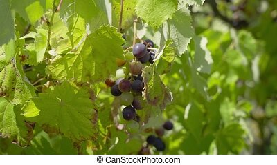 Blue and green grapes grow on the plants for the preparation of wine