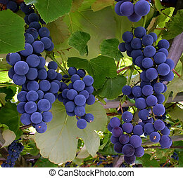 Blue Grapes Hanging From a Vine - Blue grapes are hanging...