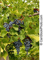 Blue grapes in a wine yard in Canada.