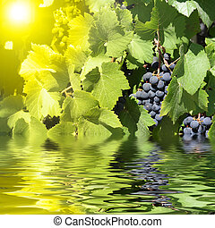 blue grapes in summer