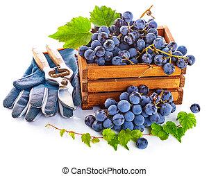 Blue grapes in wooden box vine pruner.