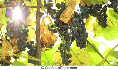 blue grapes on a branch - blue grapes grow on a branch in...