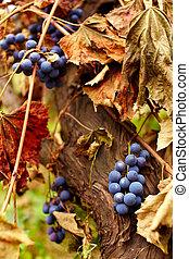 Blue grapes on a vine, closeup