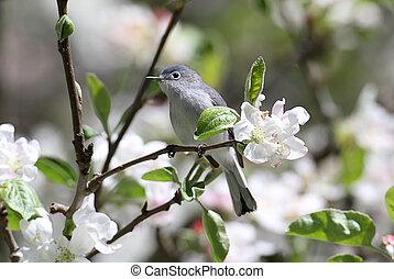 blue-gray, gnatcatcher, fleurs