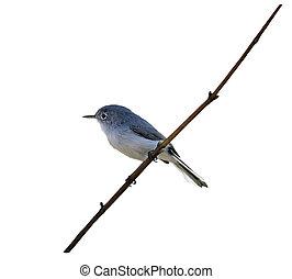 Blue-gray Gnatcatcher on a branch