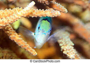 Blue green chromis (Chromis viridis) in Japan