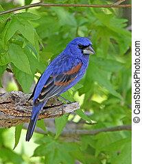 Blue Grosbeak male - Blue Grosbeak (Passerina caerulea) male...
