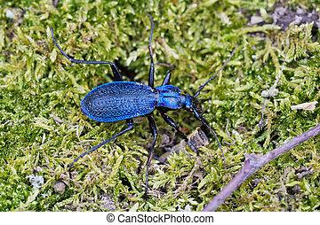 Blue ground beetle (Carabus intricatus) on a green moss