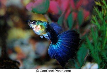 Blue Guppy - Closeup of a blue guppy fish in a fish tank