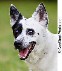 Blue heeler Australian cattle dog