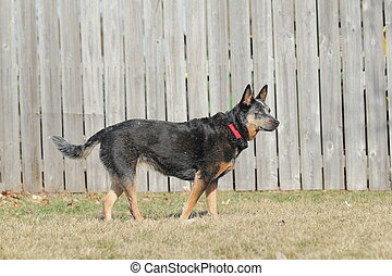Blue Heeler dog by fence
