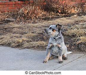 Blue Heeler Puppy looking sideways