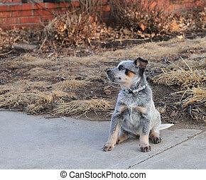 Blue Heeler Puppy looking sideways