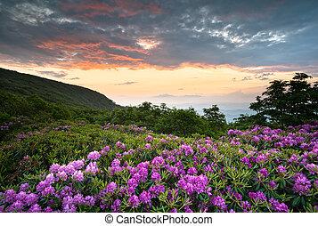blue hegygerinc parkway, hegyek, napnyugta, felett, eredet, rododendron, menstruáció, nyílik, színpadi, appalachians, közel, asheville, éc