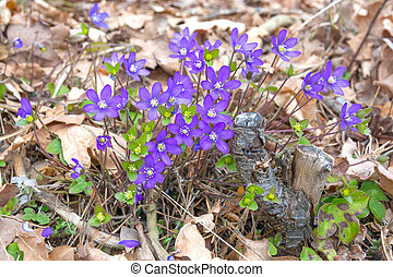 Blue Hepatica in oak and pine forest