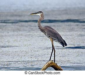 Blue Heron (3)