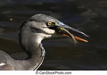 Blue heron - a gray heron with prey fish