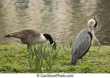 Blue Heron and Goose
