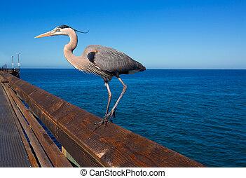 Blue Heron Ardea cinerea in Newport pier California - Great...