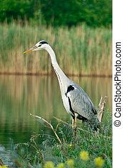 Blue heron (Ardea cinerea)