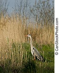 Blue heron (Ardea cinerea) in the reeds.