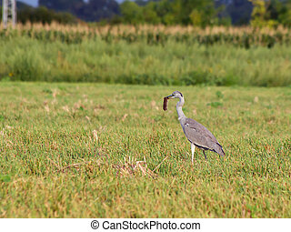 Blue heron (Ardea cinerea) .