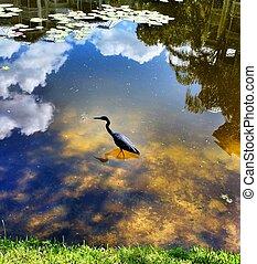Blue Heron - blue heron in water