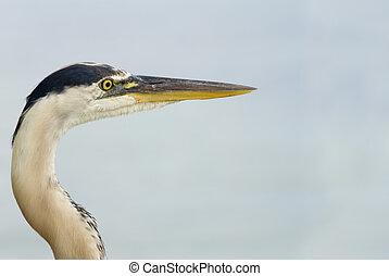 Blue Heron Closeup