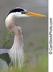 Blue Heron Closeup Profile - Closeup profile of a Blue Heron...