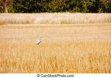 Blue Heron in Marsh Grasses