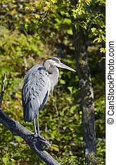Blue Heron on a Branch